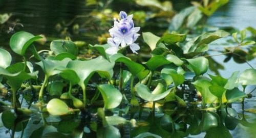 11 unbelievable ways to filter water with plants for Best pond plants for filtering