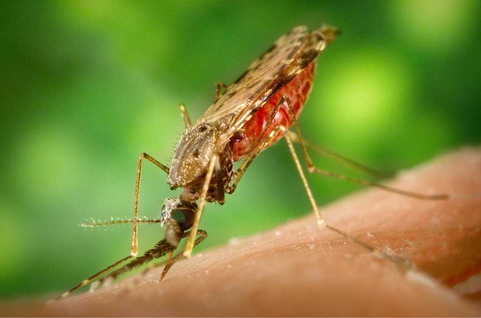 Mosquitos that are infected with the malaria parasite